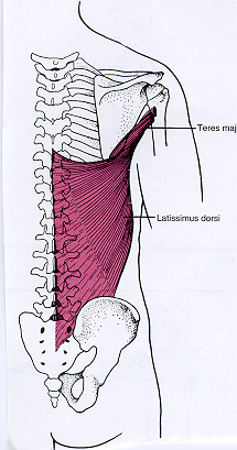 latissimus dorsi insertion - photo #23